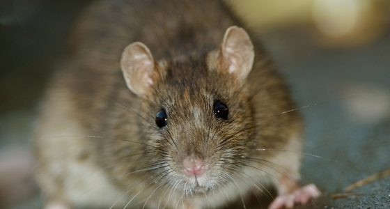 Rats are common pests on commercial properties.
